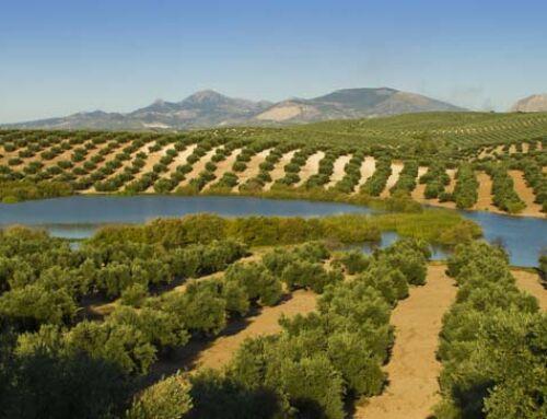 Publicados los anuncios de licitación para la ejecución del proyecto de cooperación para la «mejora de la sostenibilidad oleícola en las comarcas Jiennenses».